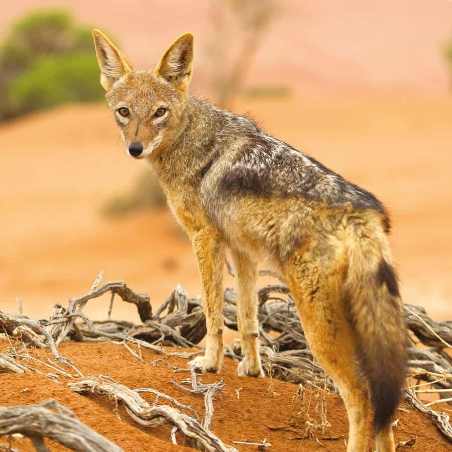 Babi-Babi safari-chasse Namibie Chacal - FR