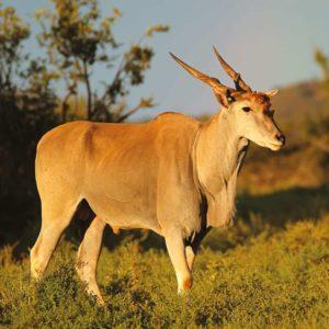 Safari photo Eland antelope namibi babi-babi