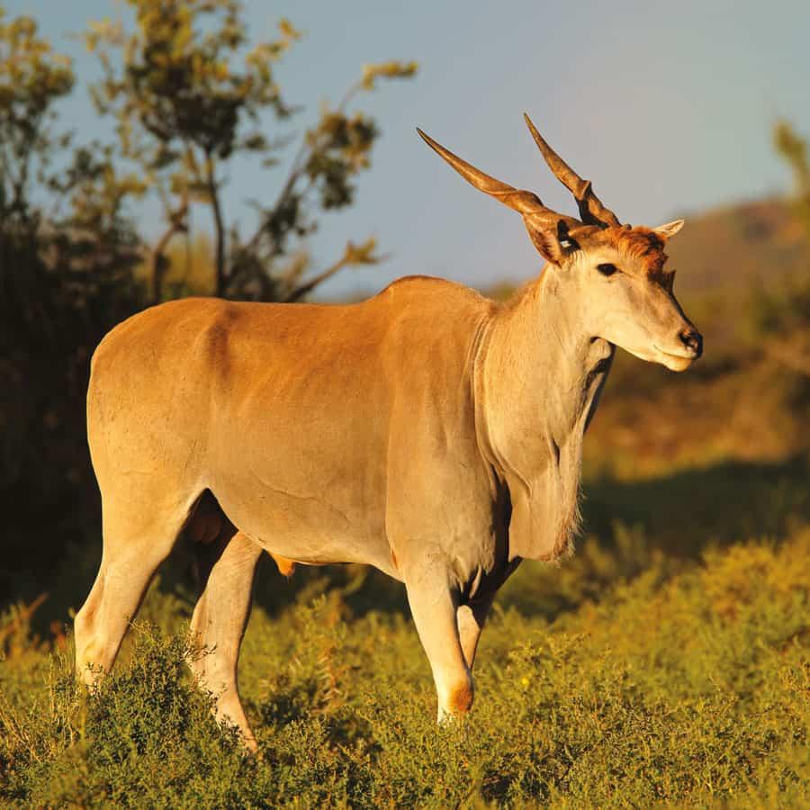 Babi-Babi Jagdsafari Namibia Elenantilope - DE