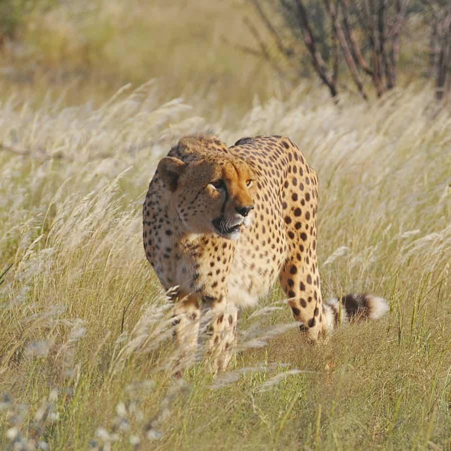 Babi-Babi Jagdsafari Namibia Gepard - DE