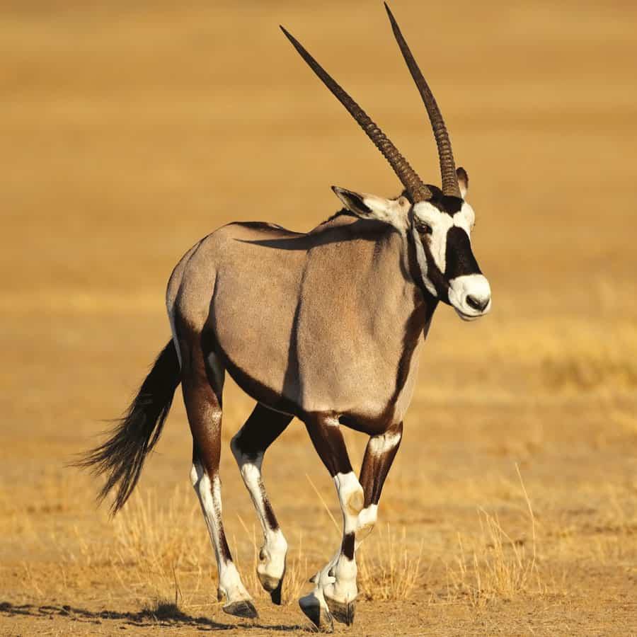 Babi-Babi Jagdsafari Namibia Oryxantilope - DE