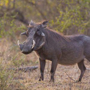 Safari photo Warthog namibi babi-babi