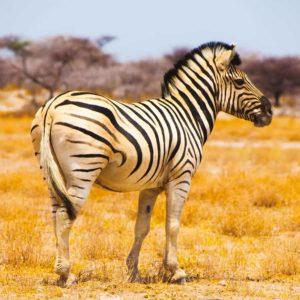 Safari photo Burchell's zebra namibi babi-babi