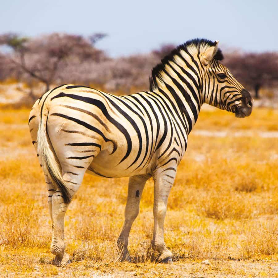 Babi-Babi safari-chasse Namibie Zebre de Burchell - FR