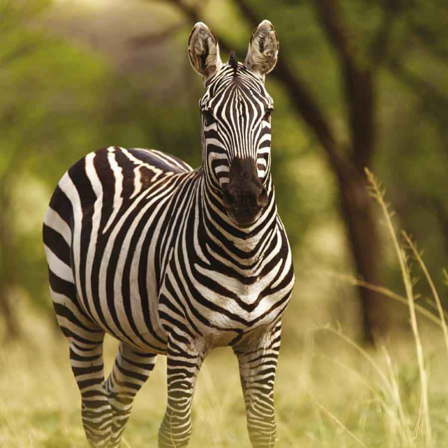 Babi-Babi hunting safari Mountain Burchell's zebra - EN