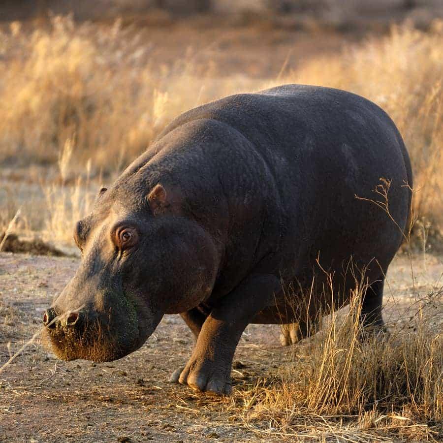 Babi-Babi Jagdsafari Namibia Flusspferd - DE