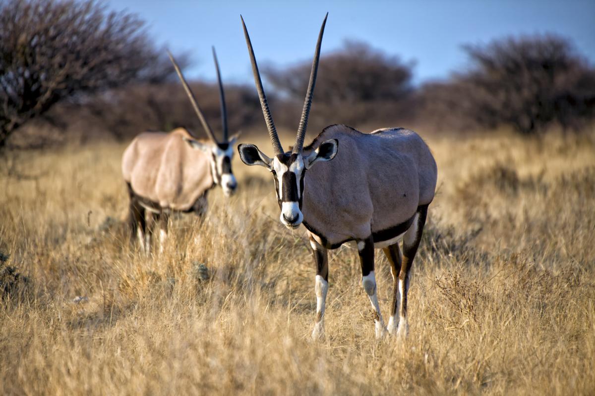 Babi-Babi safari-chasse Namibie 2 Oryxantilope - FR