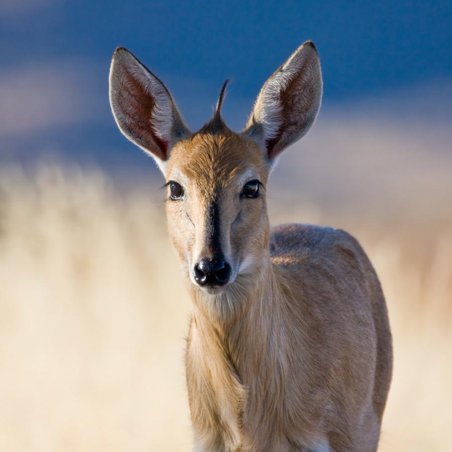 Babi-Babi safari-chasse Namibie Céphalophe - FR